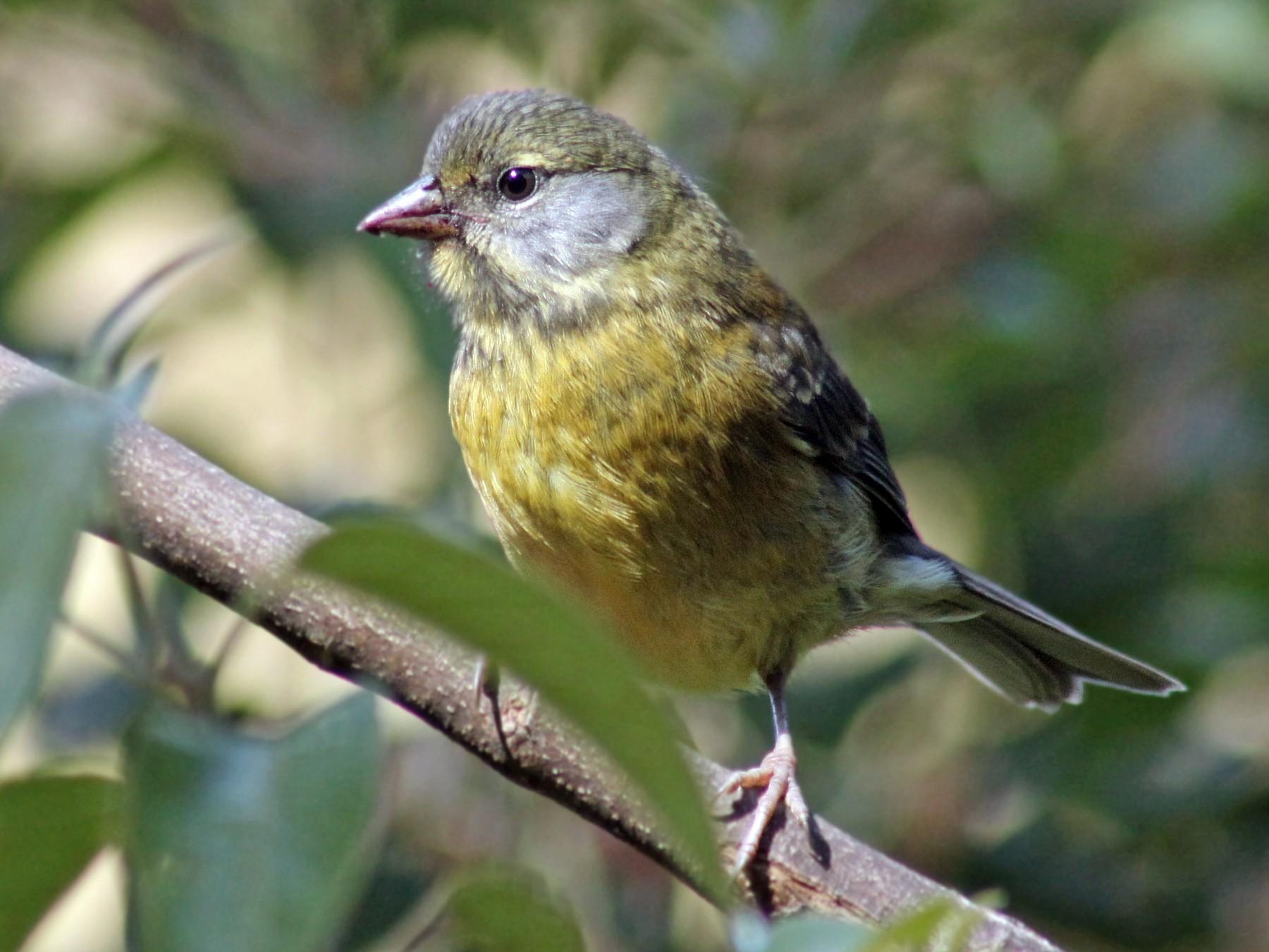 Patagonian Sierra-Finch - Caleb Marshall