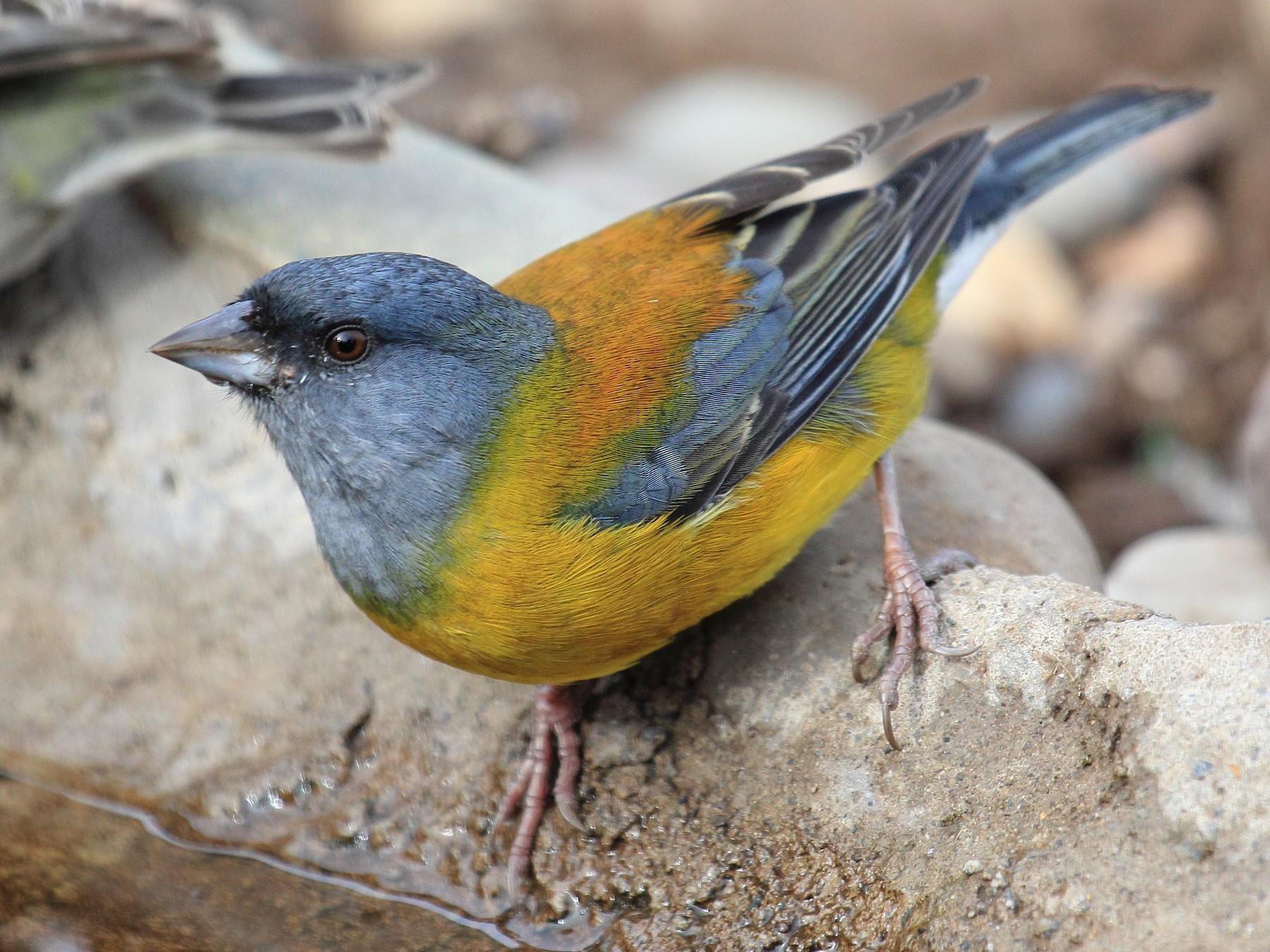 Patagonian Sierra-Finch - Rigoberto  Yañez