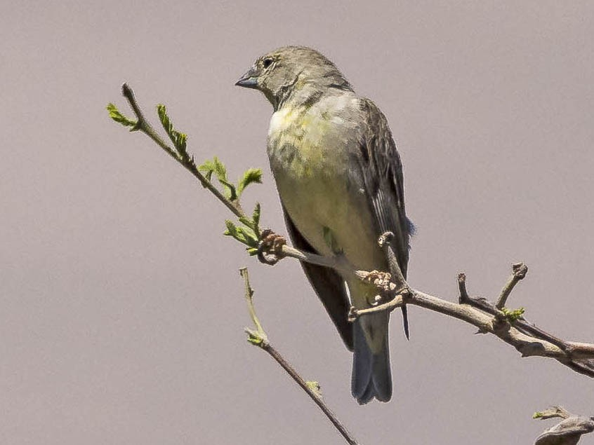 Raimondi's Yellow-Finch - VERONICA ARAYA GARCIA