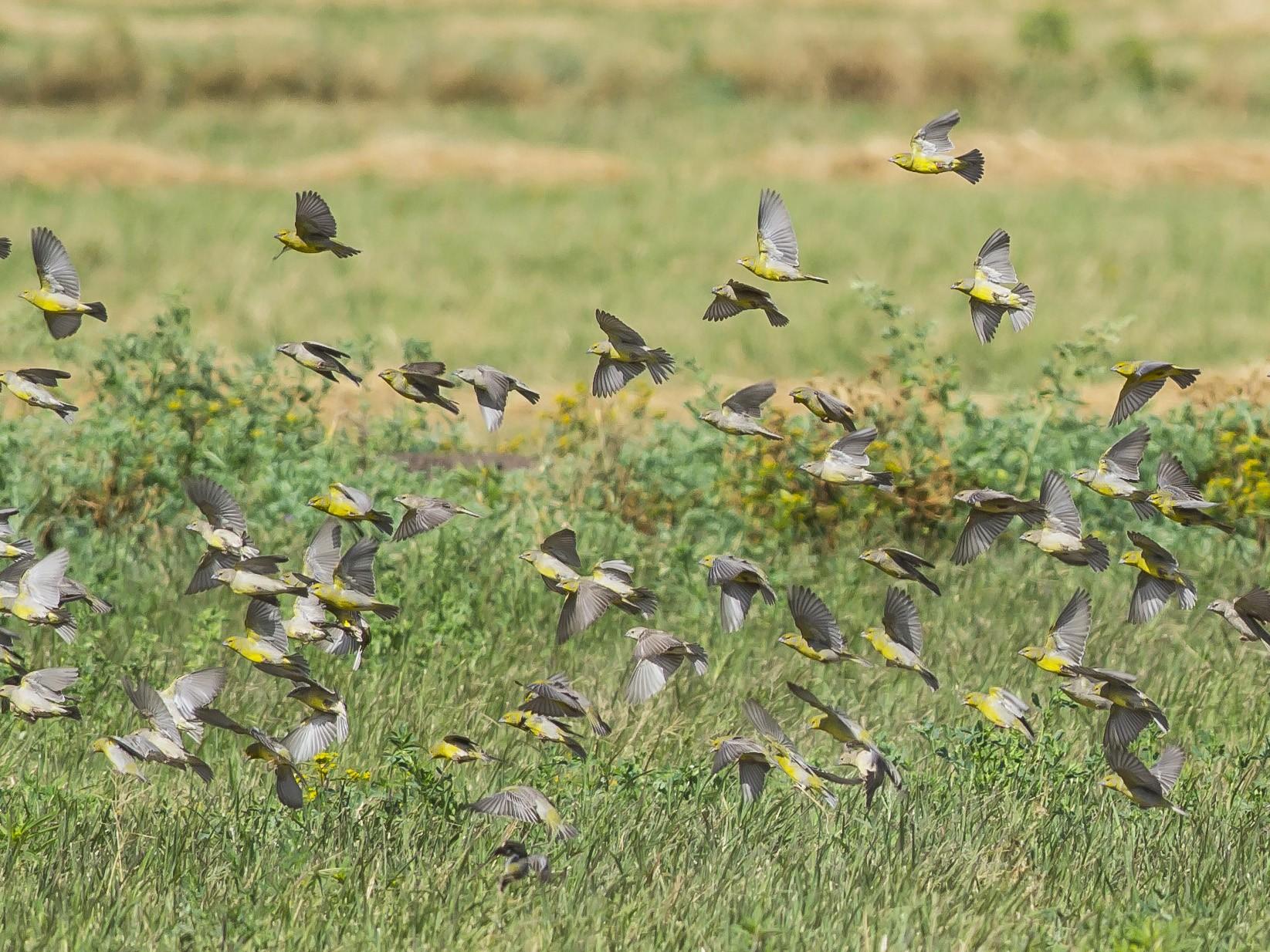 Raimondi's Yellow-Finch - Jorge claudio fuentes figueroa