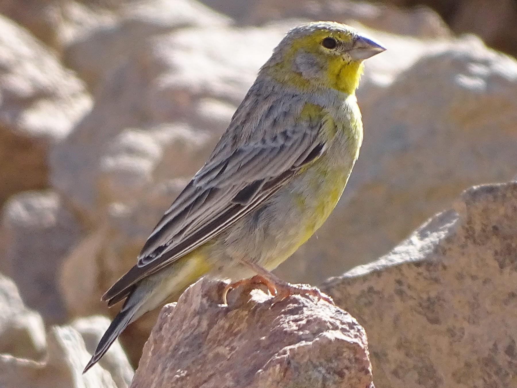 Raimondi's Yellow-Finch - Charly Moreno Taucare