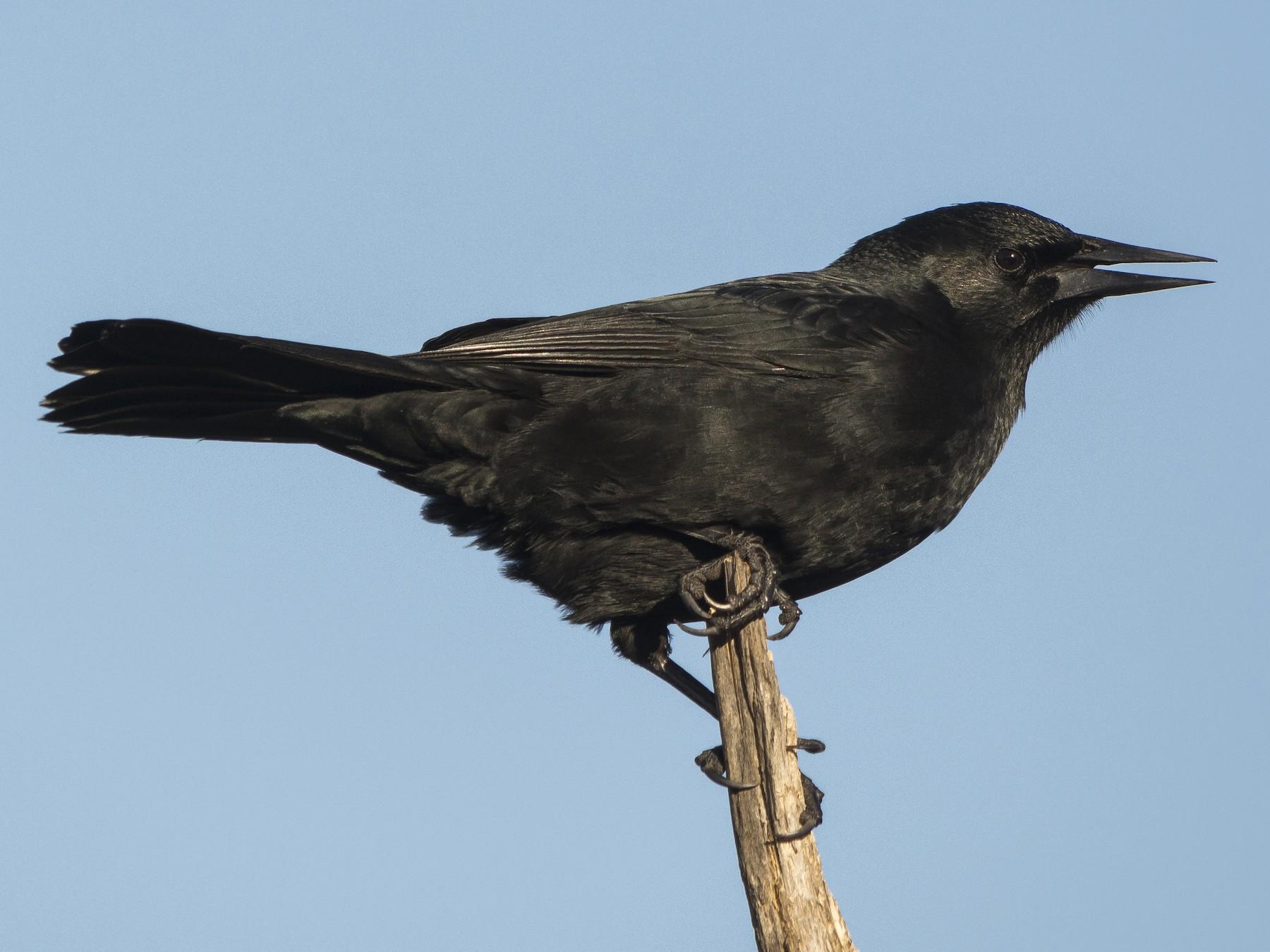 Austral Blackbird - Jorge Vidal Melián