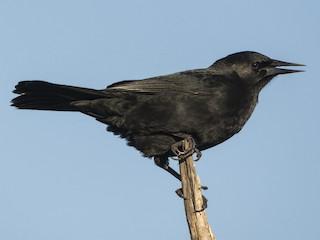 - Austral Blackbird