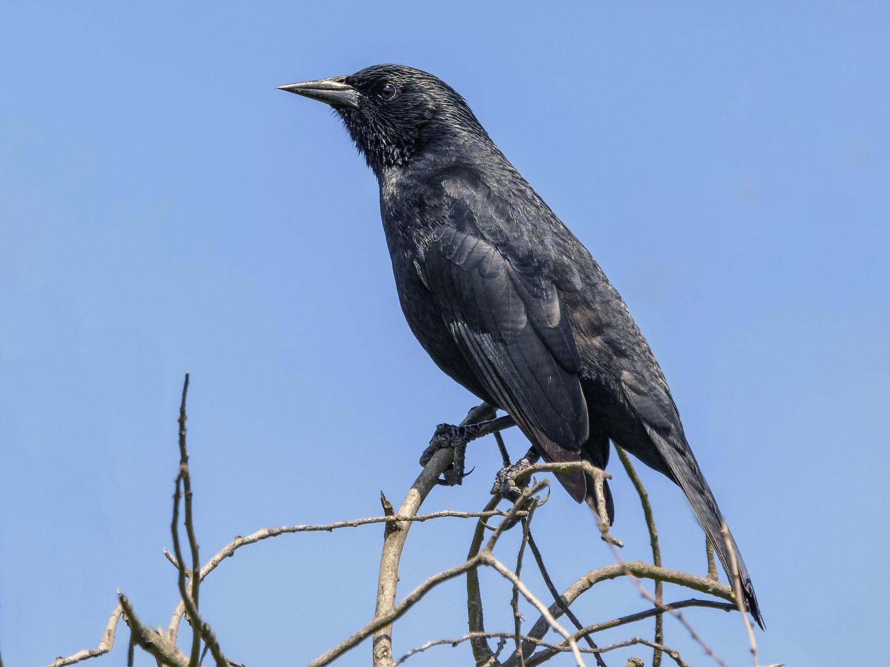 Austral Blackbird - VERONICA ARAYA GARCIA
