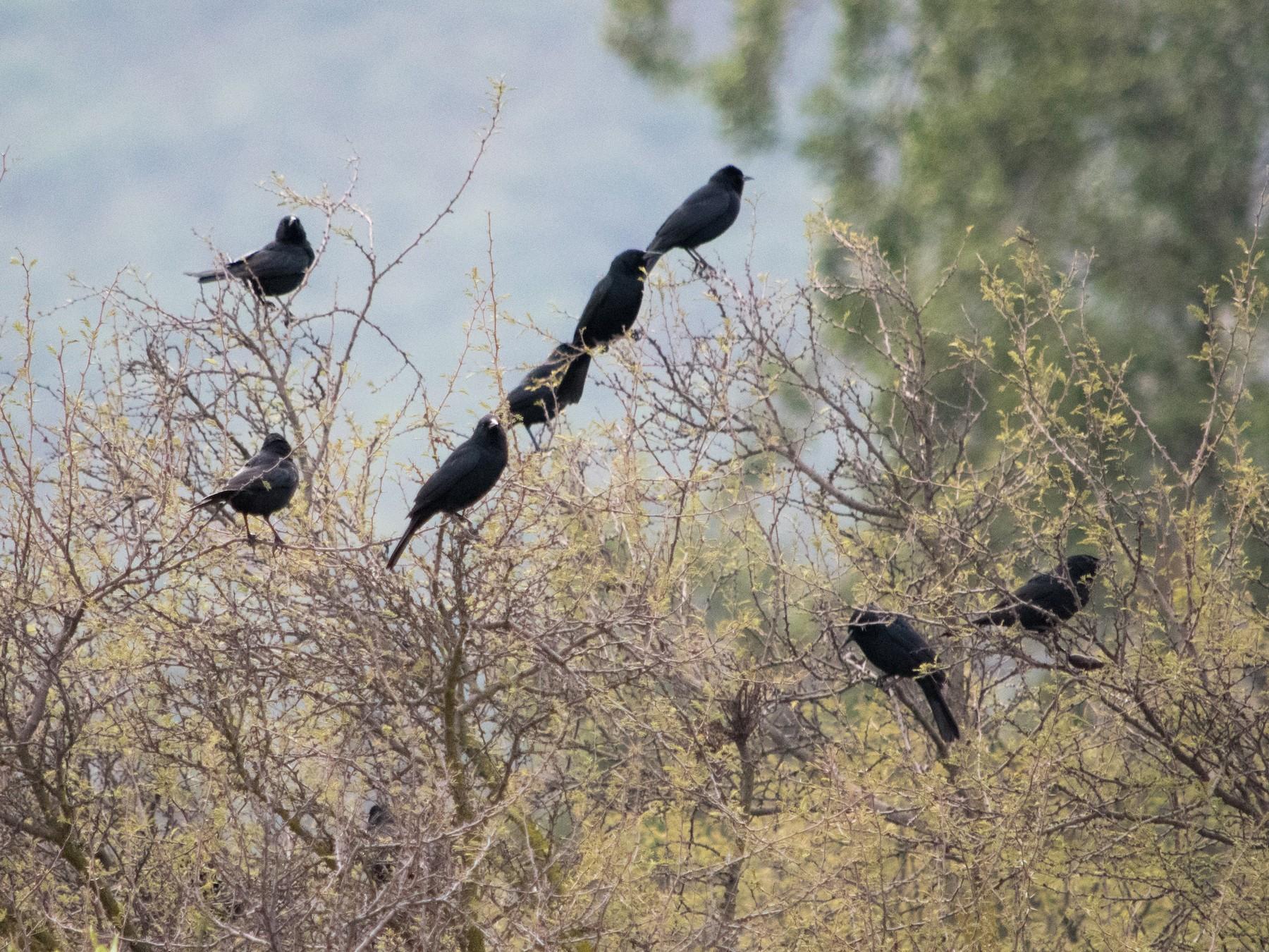 Austral Blackbird - Benjamin Gallardo