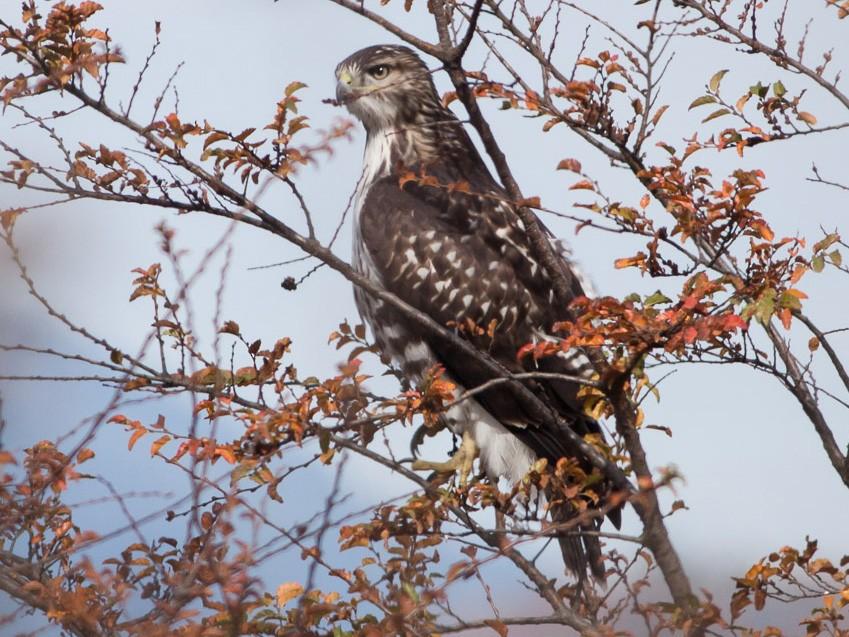 Rufous-tailed Hawk - Ariel Cabrera Foix