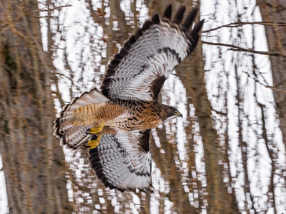 Rufous-tailed Hawk - Cristian Pardo
