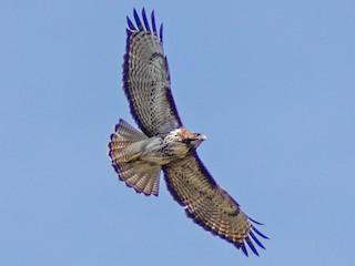 - Rufous-tailed Hawk