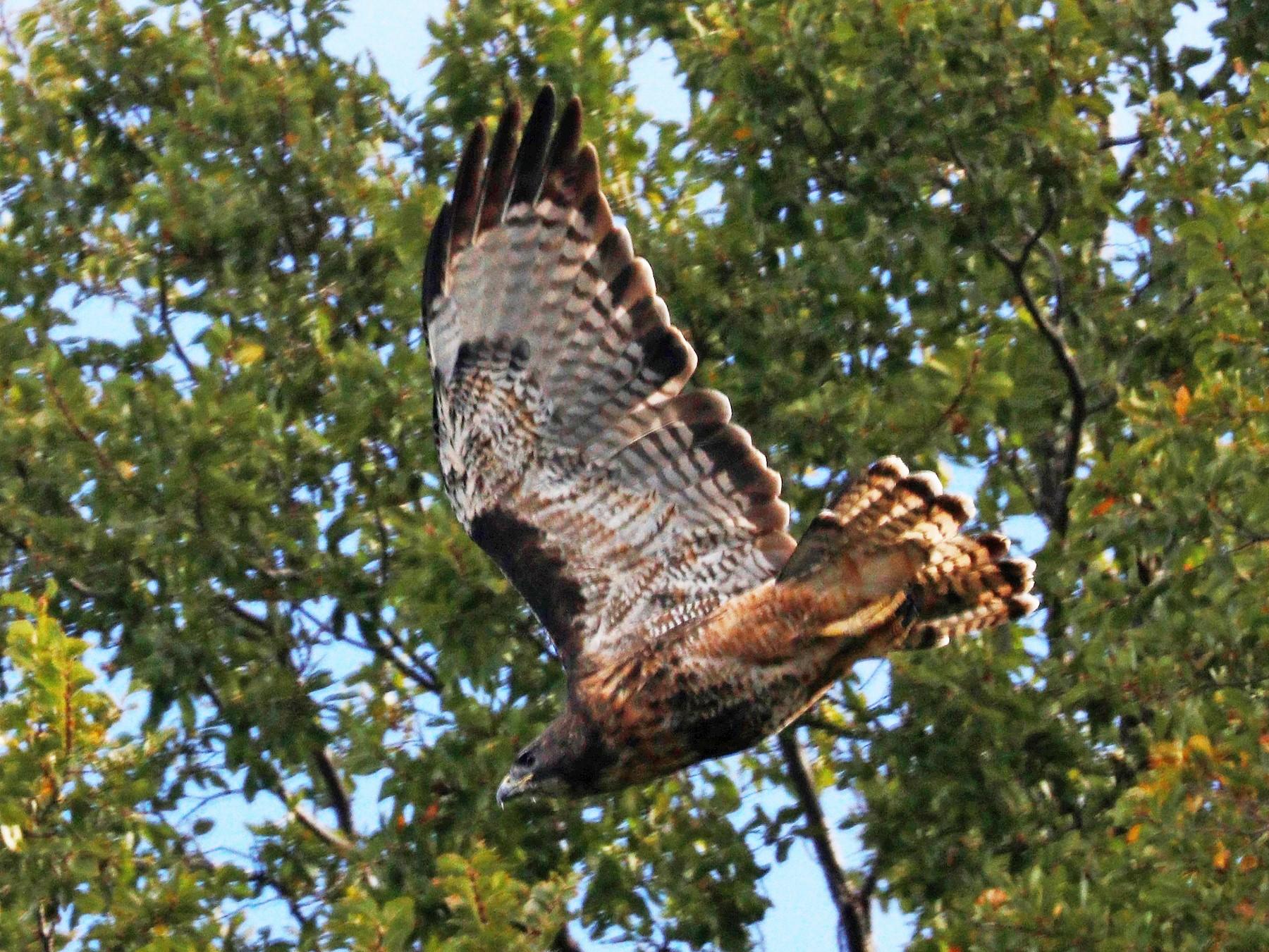 Rufous-tailed Hawk - Cecilia de Larminat