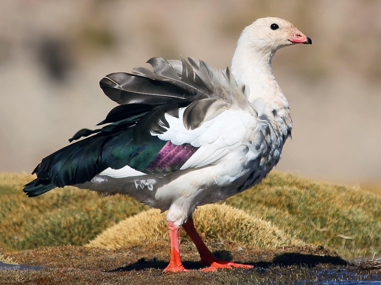 Andean Goose - Pablo Andrés Cáceres Contreras
