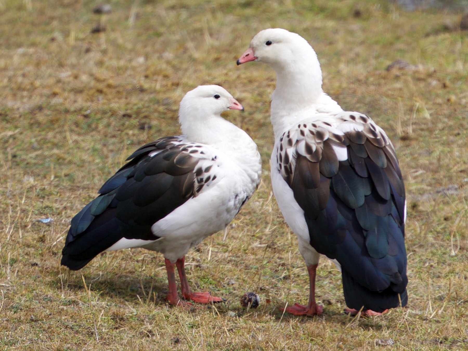 Andean Goose - Cory Gregory