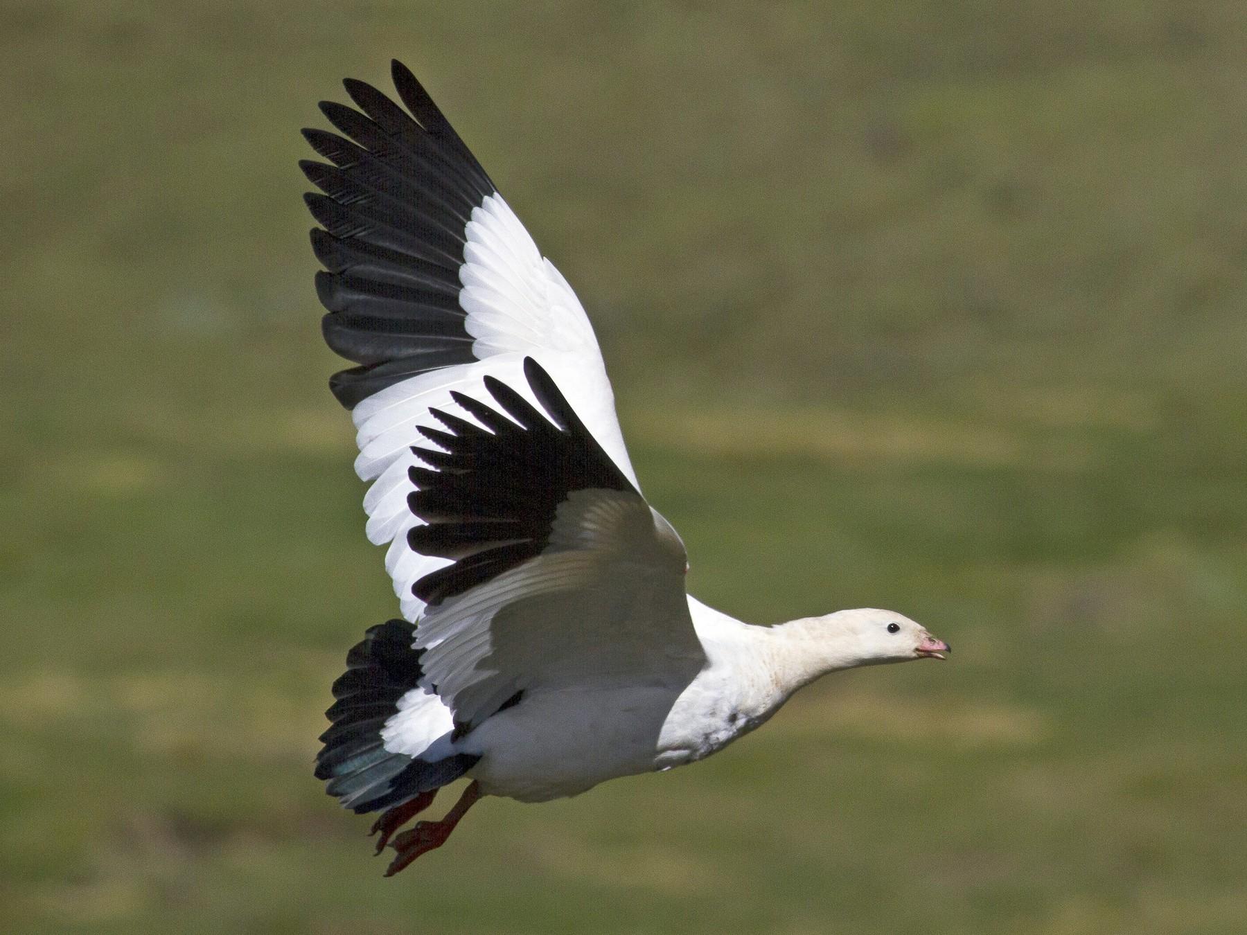 Andean Goose - Jacob Drucker