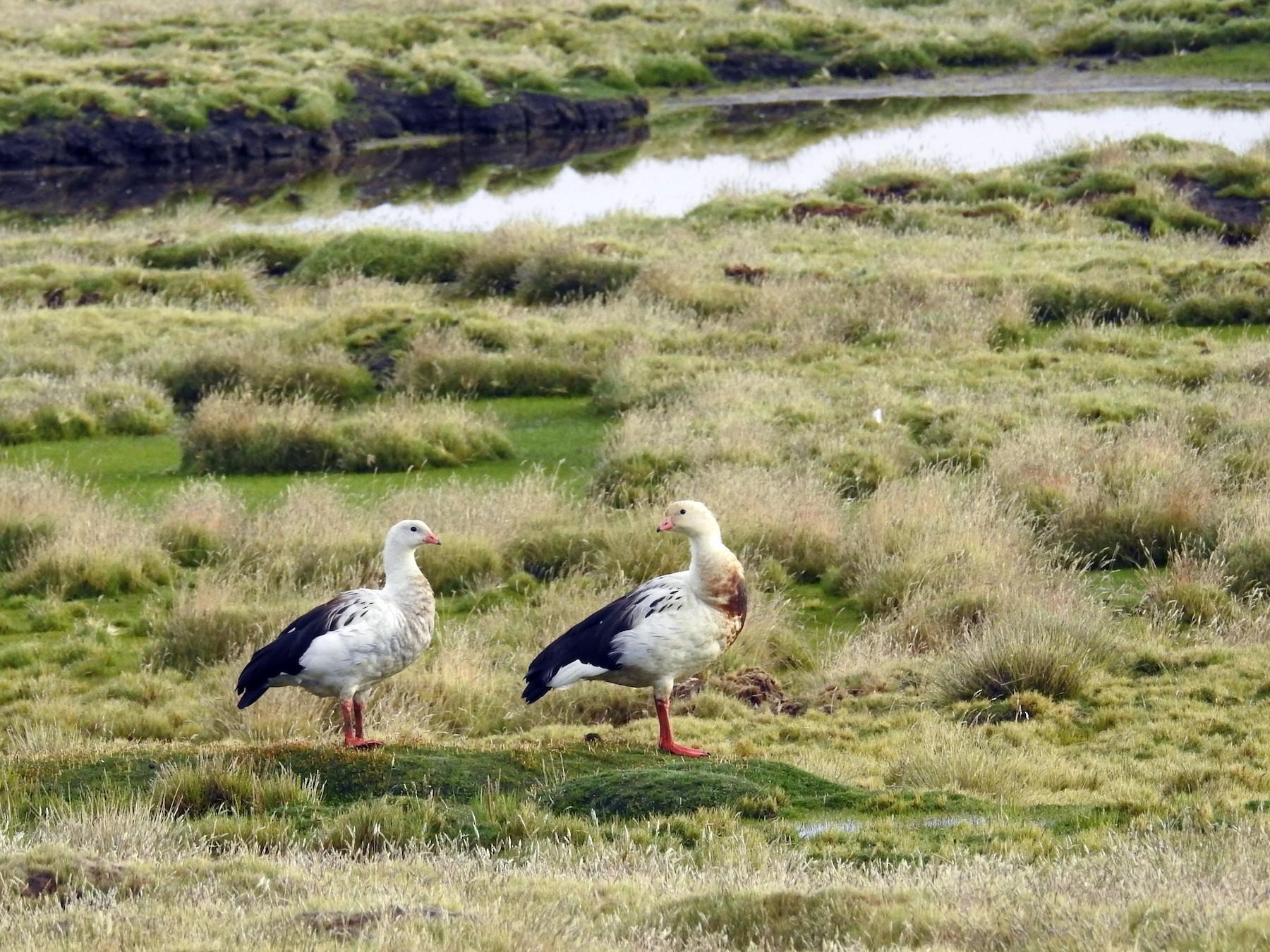 Andean Goose - Carlos Alberto Soto Camacho