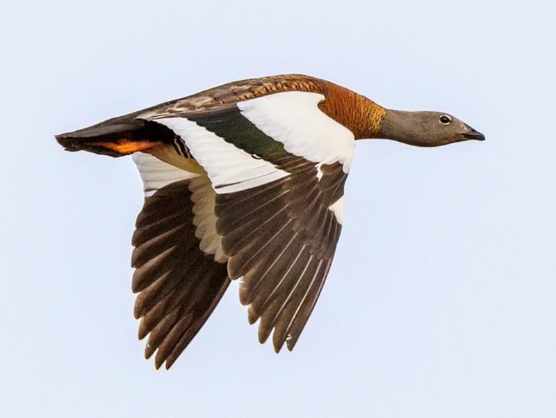 Ashy-headed Goose - Pio Marshall