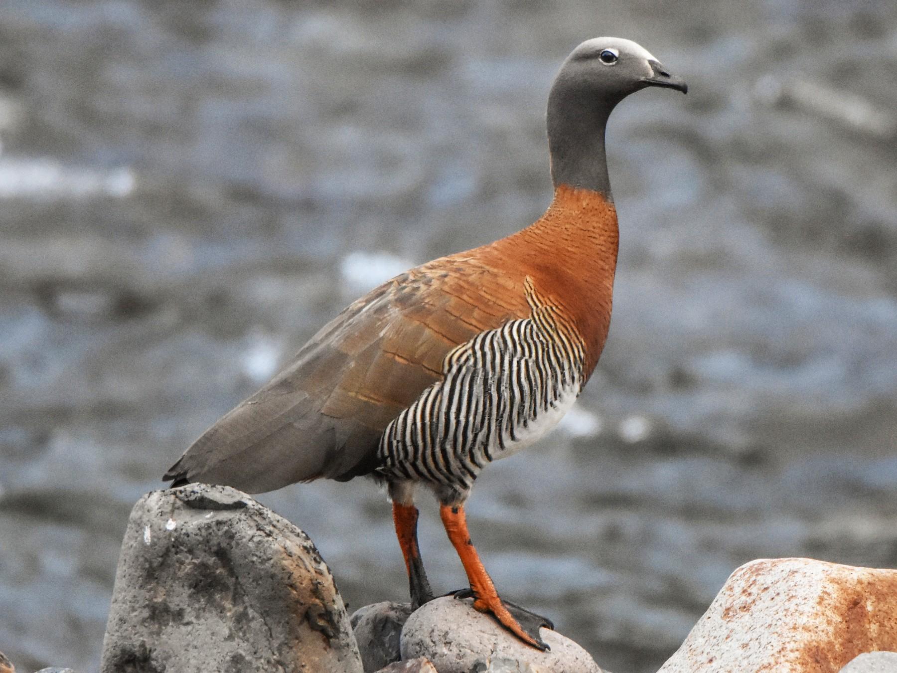 Ashy-headed Goose - Hederd Torres García