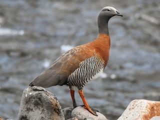 - Ashy-headed Goose