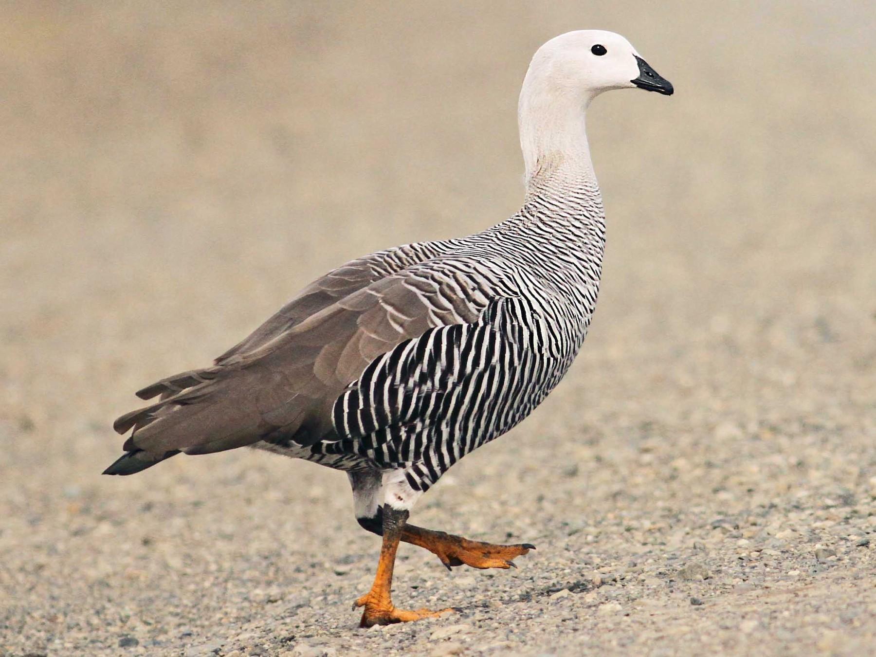 Upland Goose - Luke Seitz