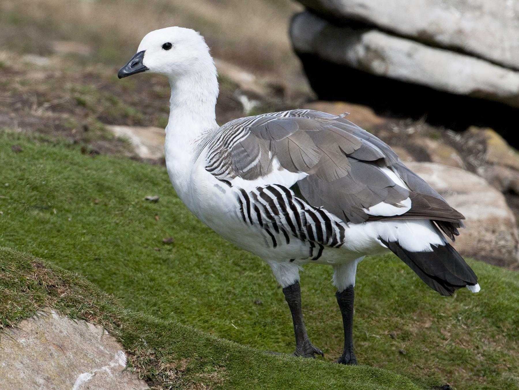 Upland Goose - Brian Sullivan