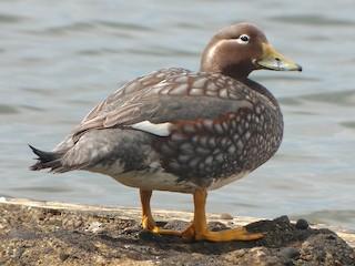 - Flying Steamer-Duck