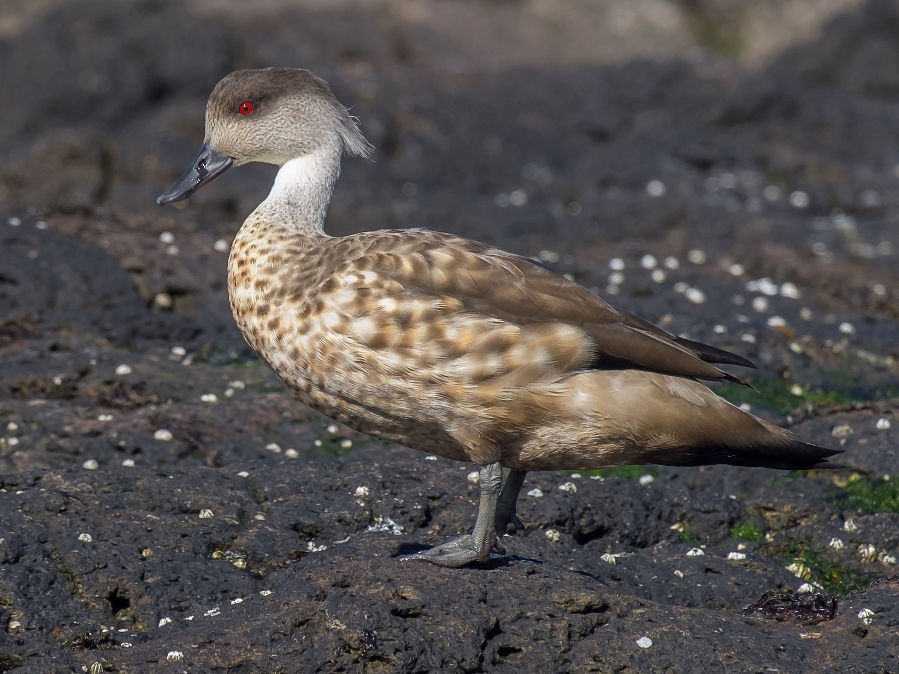 Crested Duck - Leo Damrow