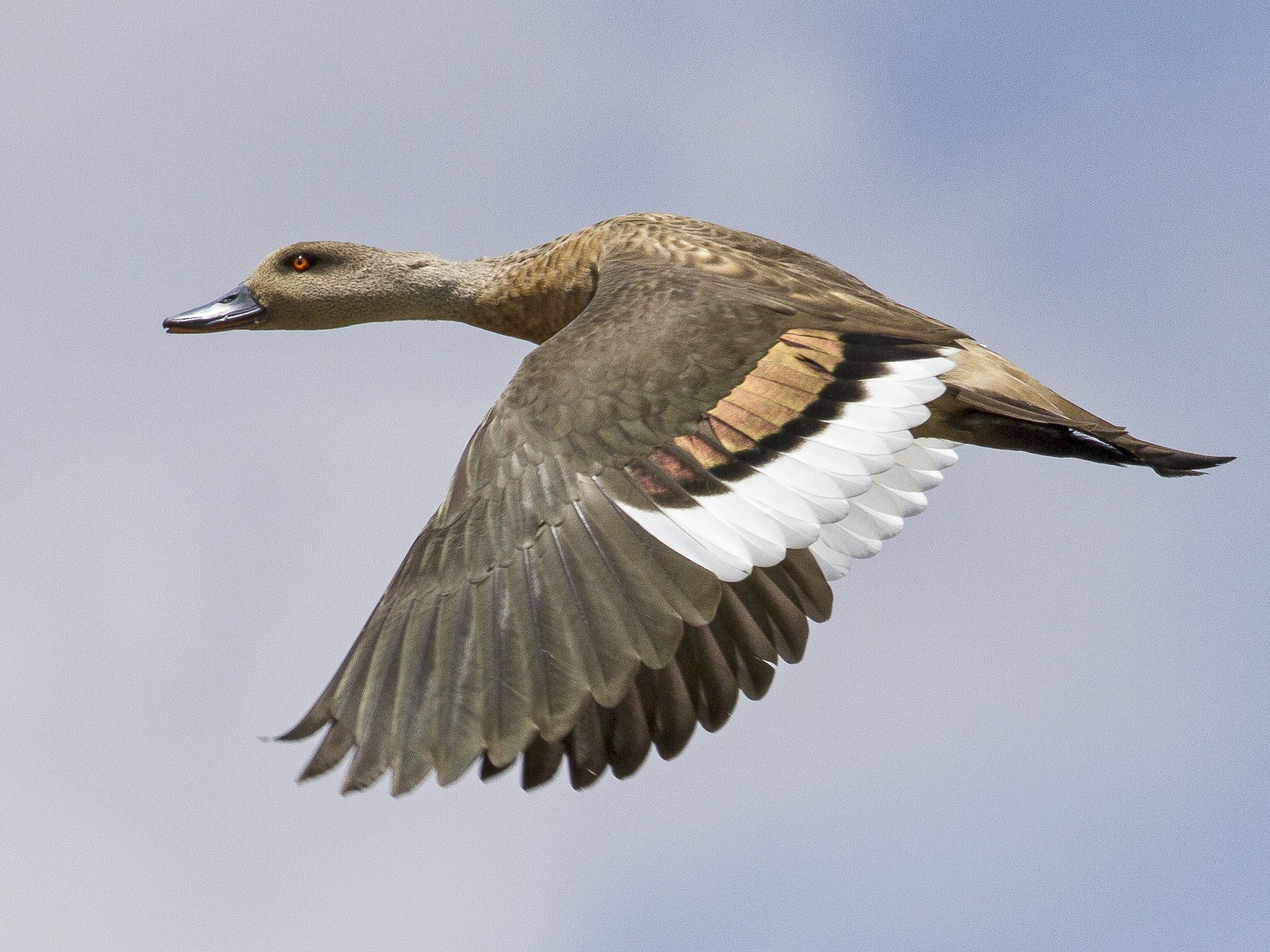 Crested Duck - Jacob Drucker