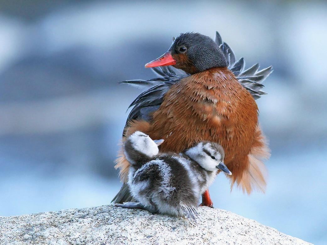 Pato cortacorrientes - Jeremiah Trimble