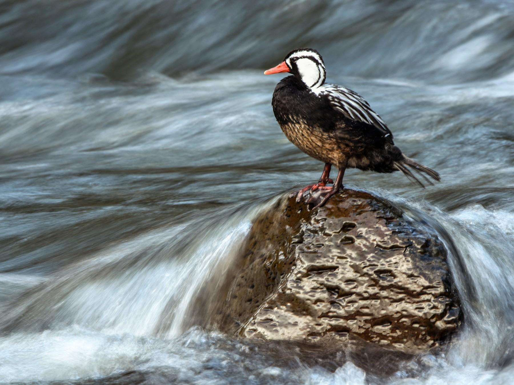 Torrent Duck - Hederd Torres García