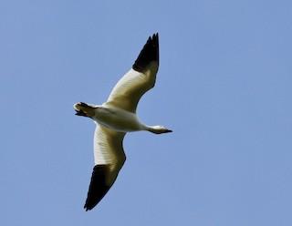 Snow Goose, ML115924101