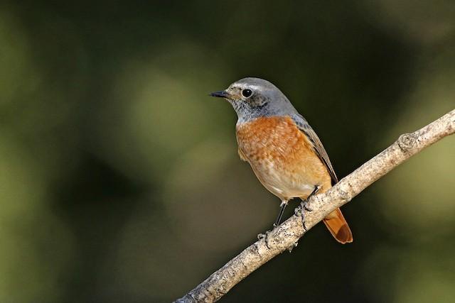 ©Francisco Barroqueiro - Common Redstart