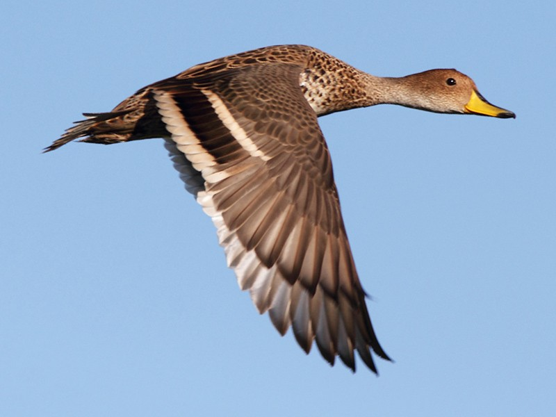 Yellow-billed Pintail - Ramiro Ramirez