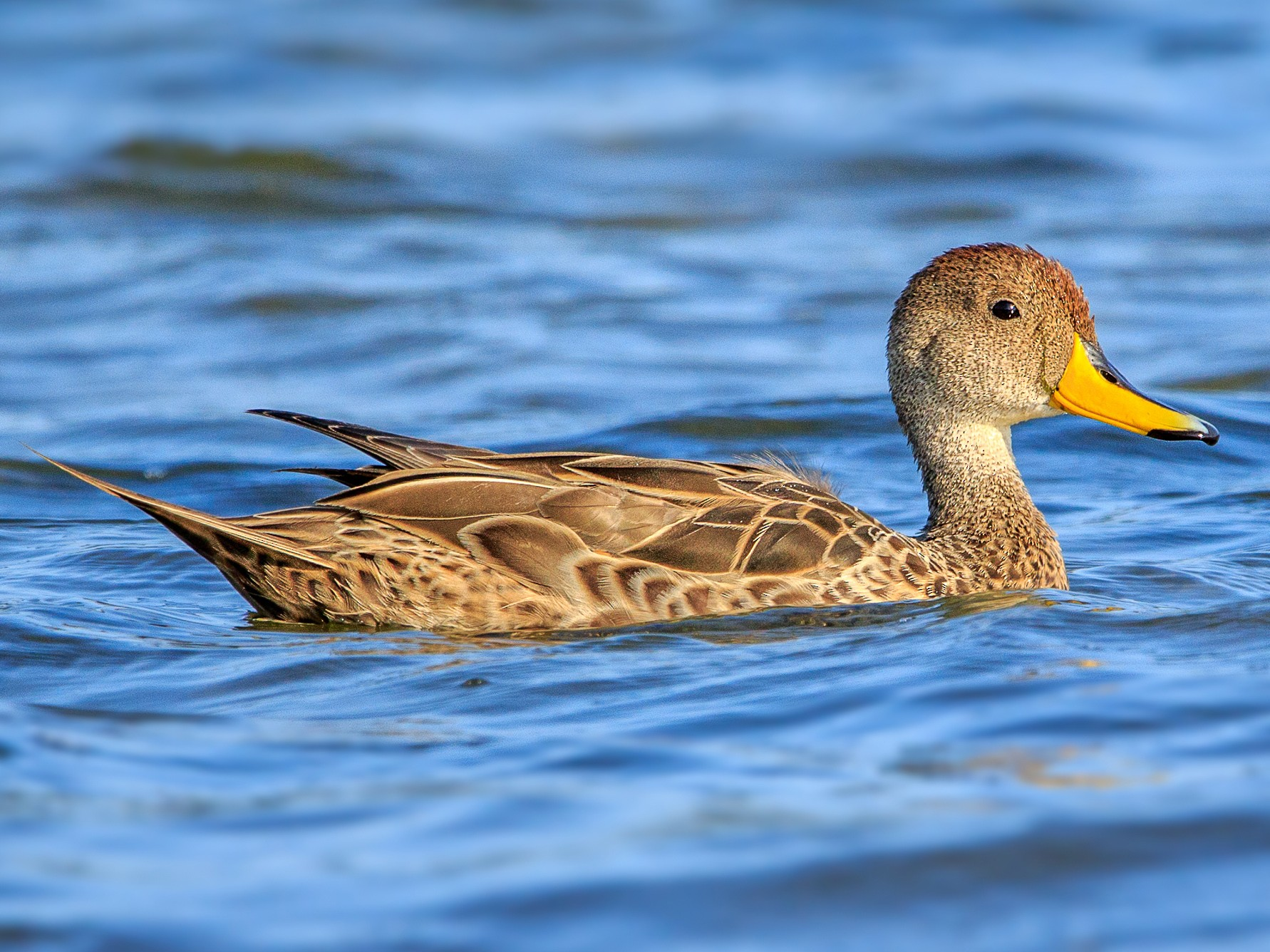 Yellow-billed Pintail - Fernando Farias