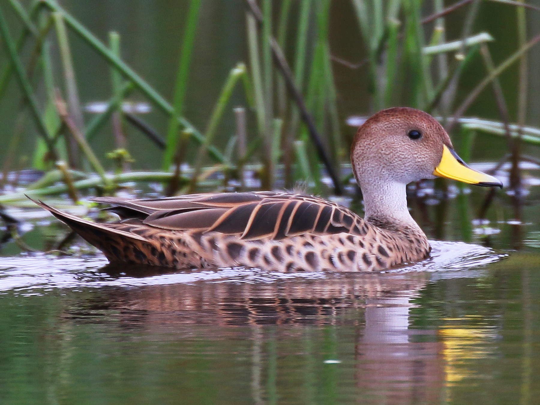 Yellow-billed Pintail - Kathleen Keef
