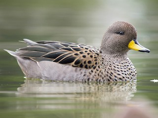- Yellow-billed Teal