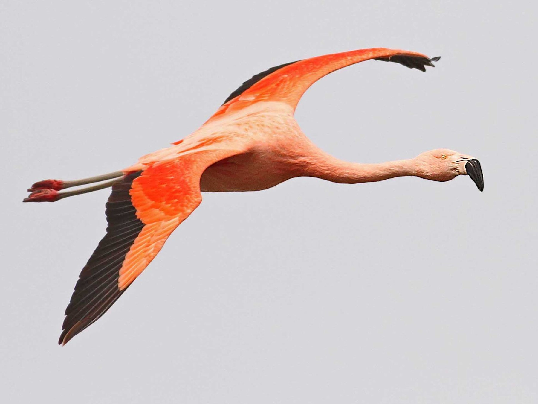 Chilean Flamingo - Luke Seitz