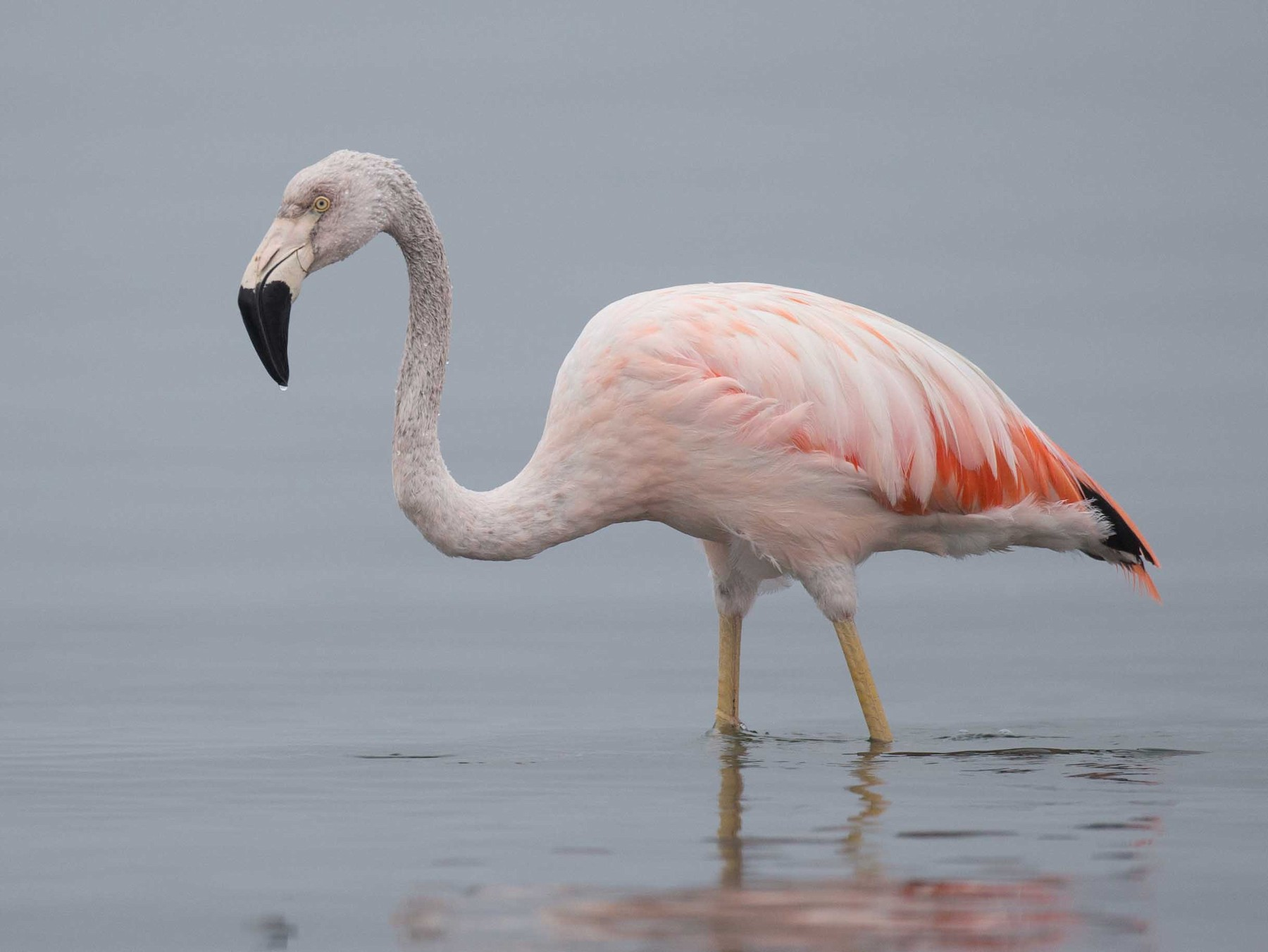 Chilean Flamingo - Chris Wood