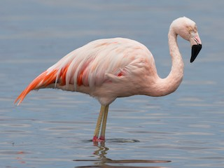 - Chilean Flamingo