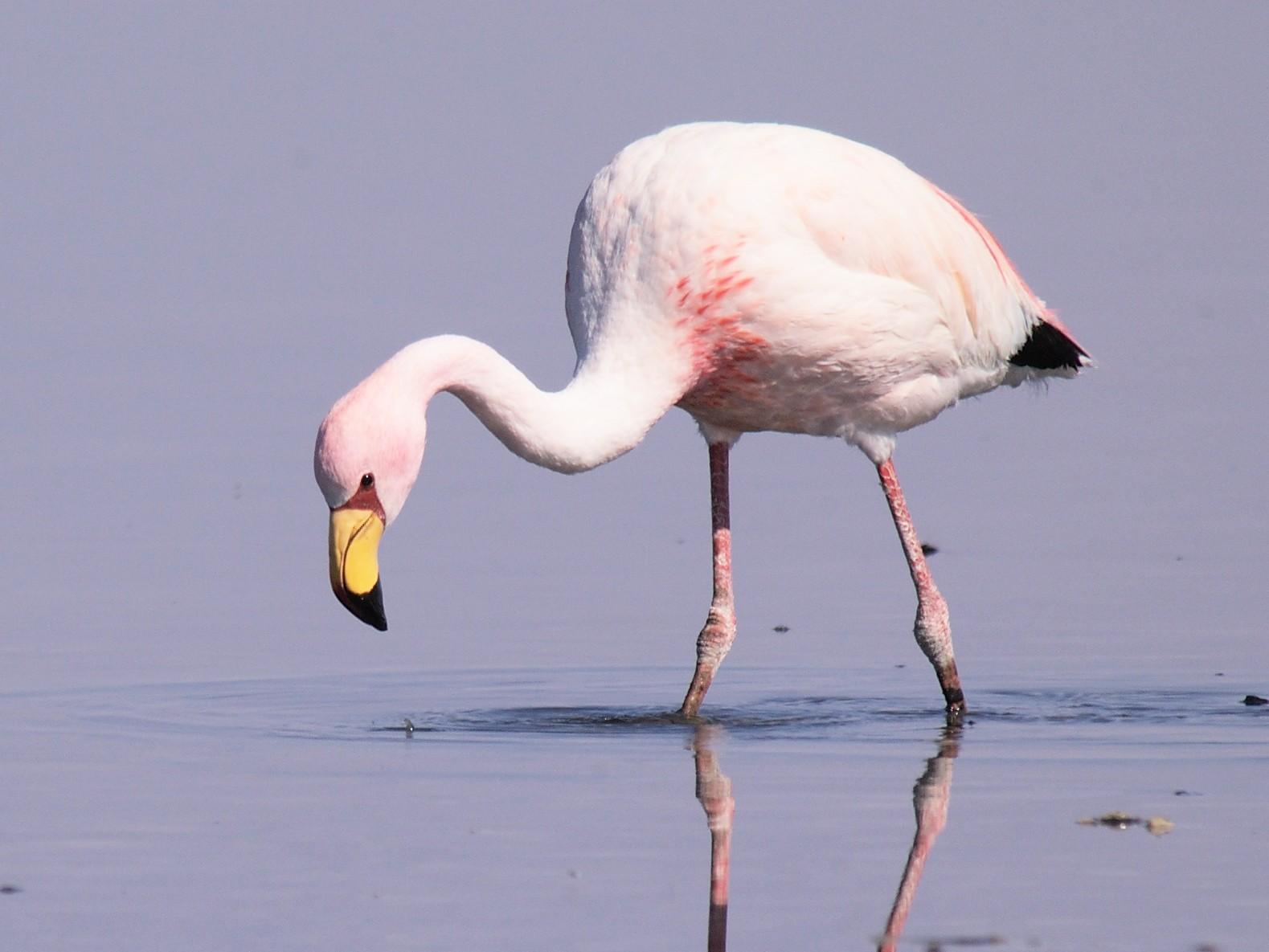James's Flamingo - Etienne Artigau
