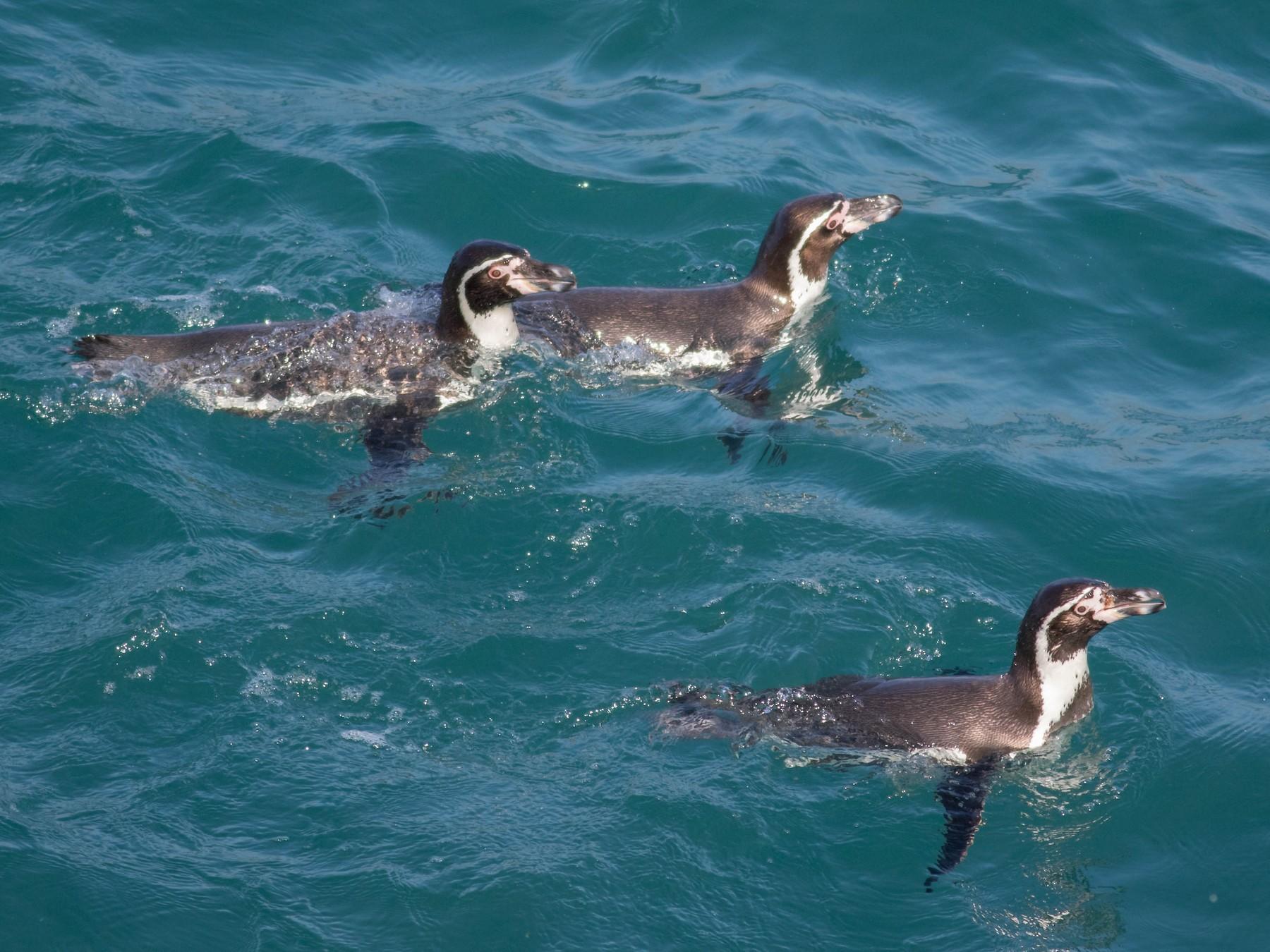 Humboldt Penguin - Noah Frade