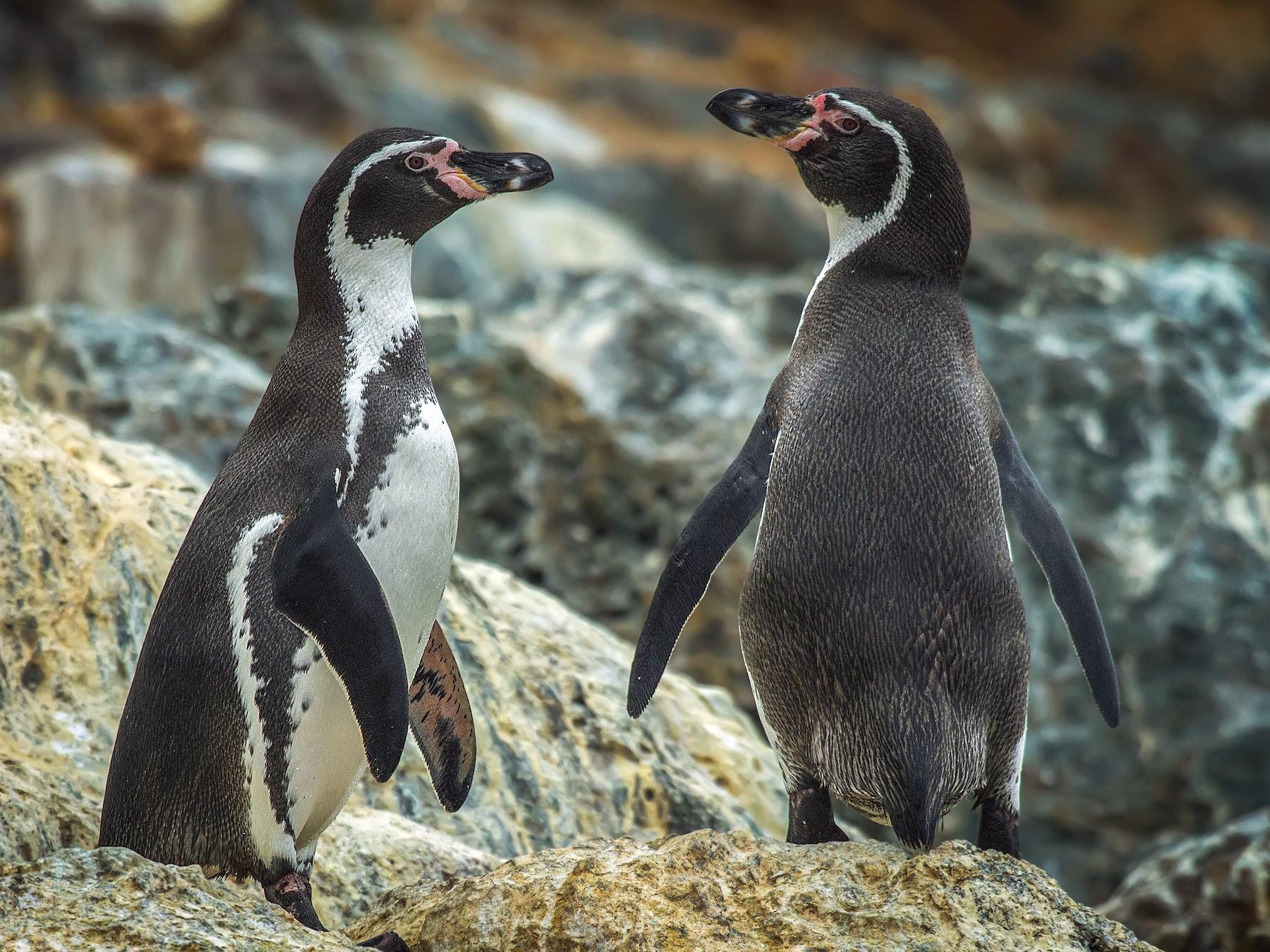Humboldt Penguin - Pio Marshall