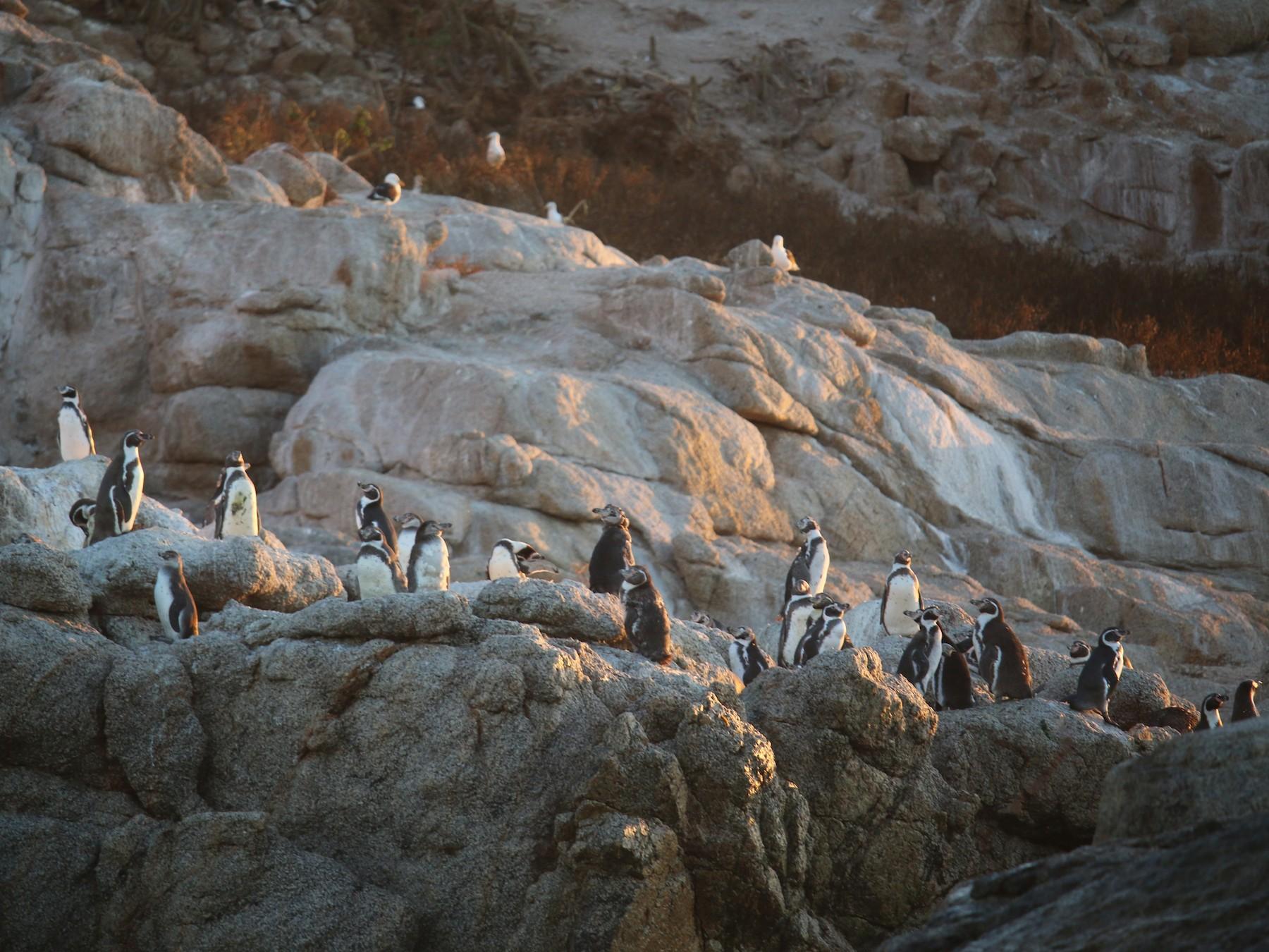 Humboldt Penguin - Horacio Undurraga