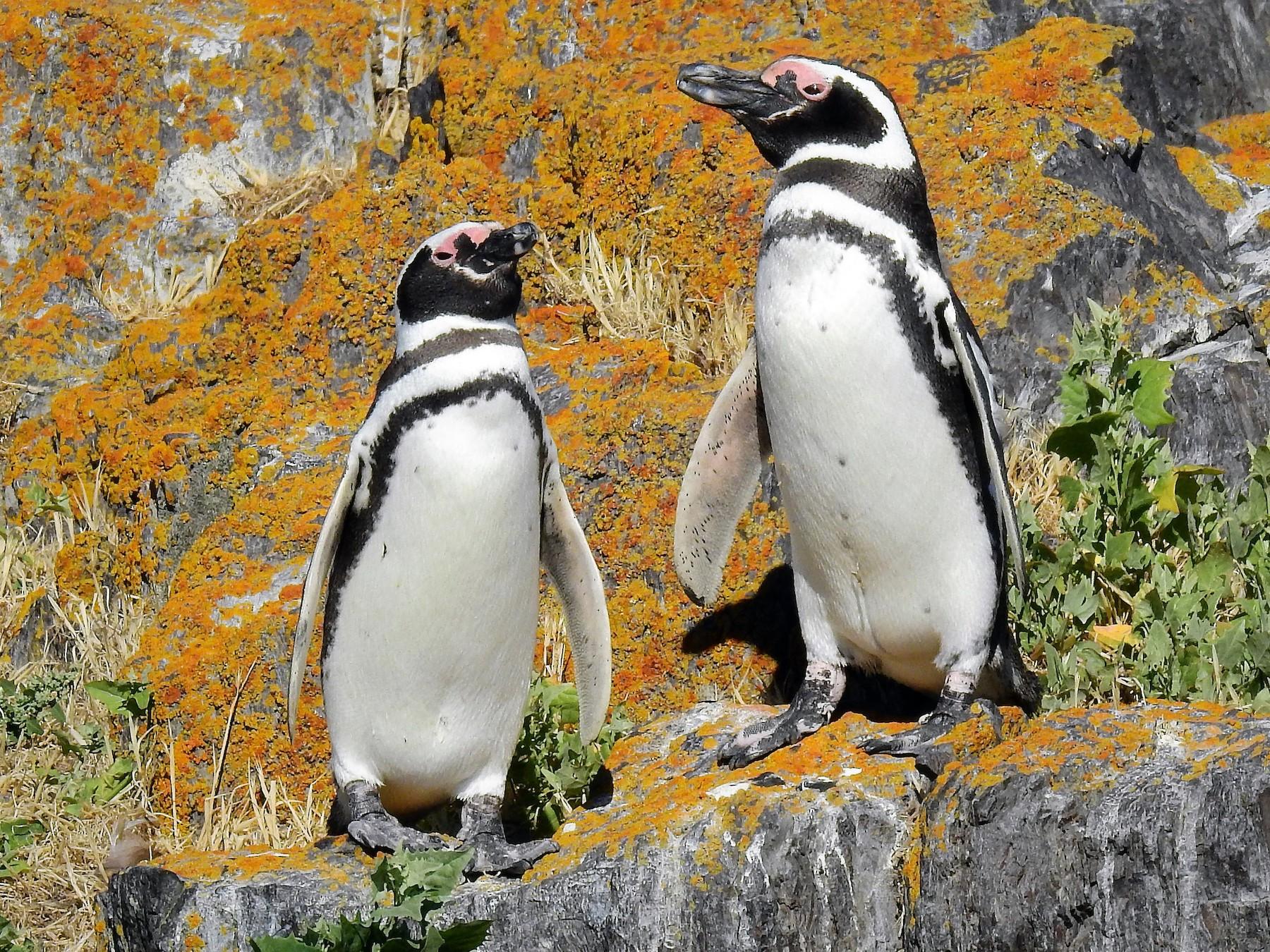 Magellanic Penguin - Pablo Alejandro Pla