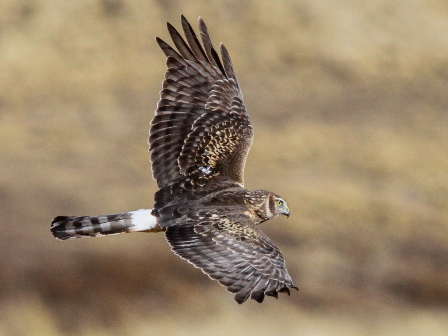 Cinereous Harrier - Ian Davies