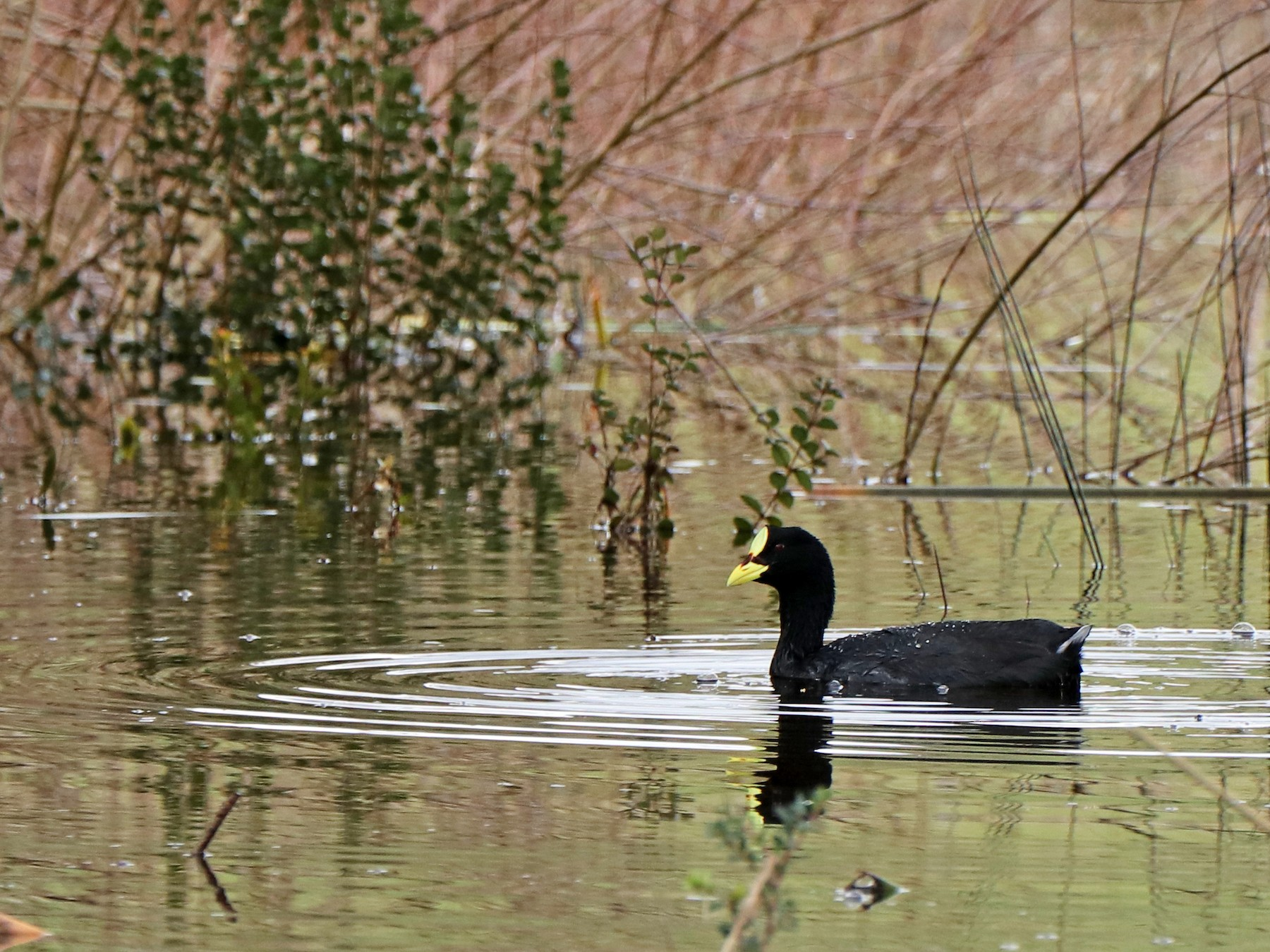 Red-gartered Coot - Chloe Marshall