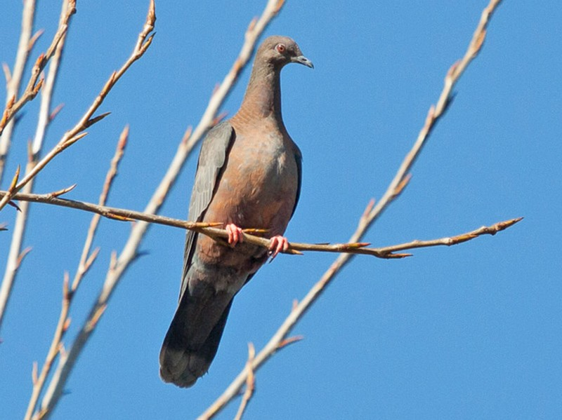 Chilean Pigeon - Ariel Cabrera Foix
