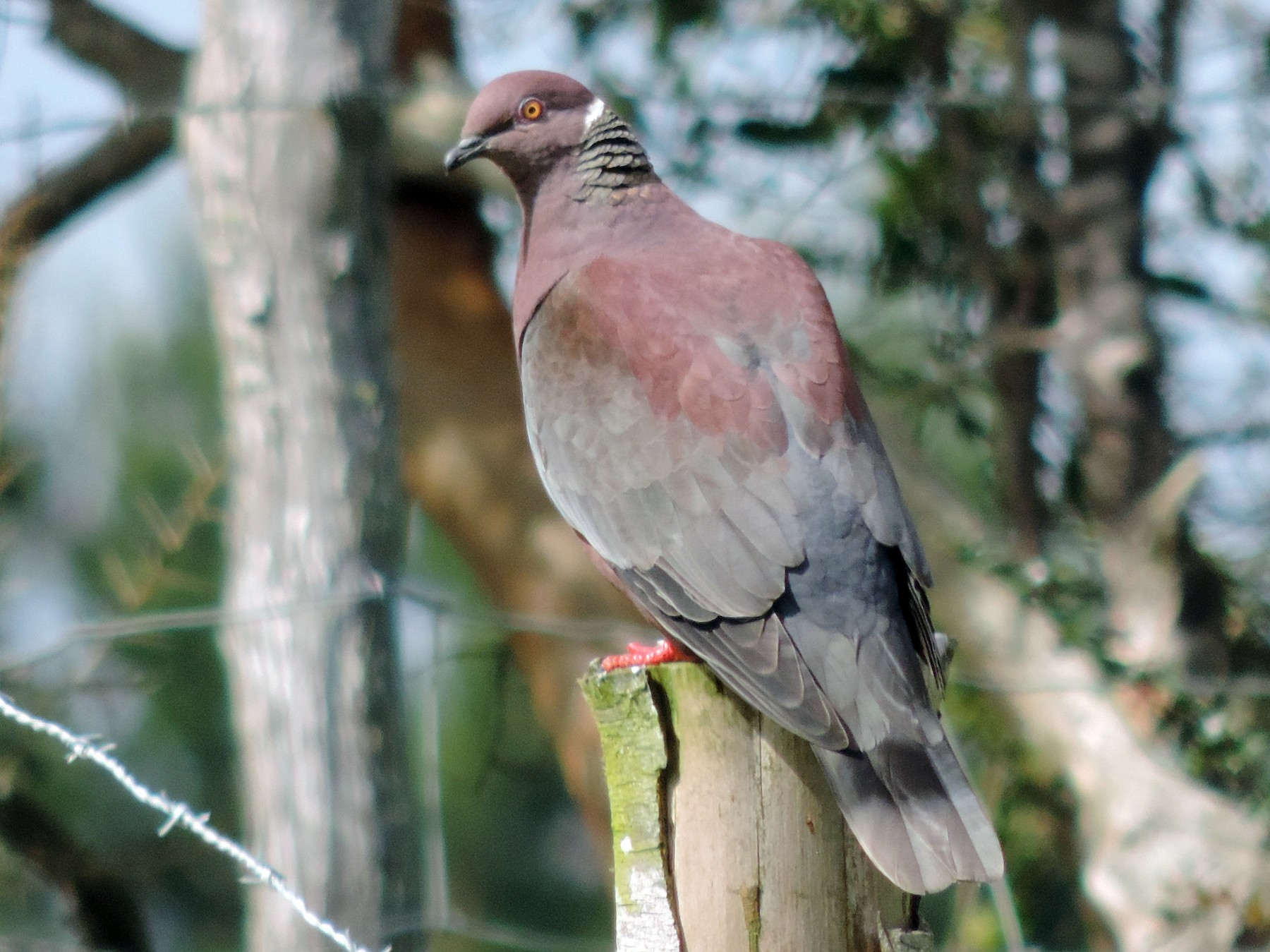 Chilean Pigeon - Enzo Gamberini