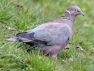 - Chilean Pigeon