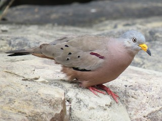 - Croaking Ground Dove