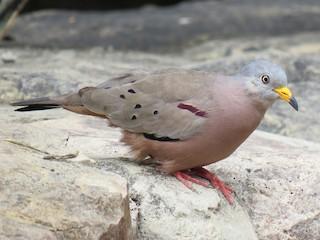 - Croaking Ground Dove