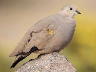 - Golden-spotted Ground Dove