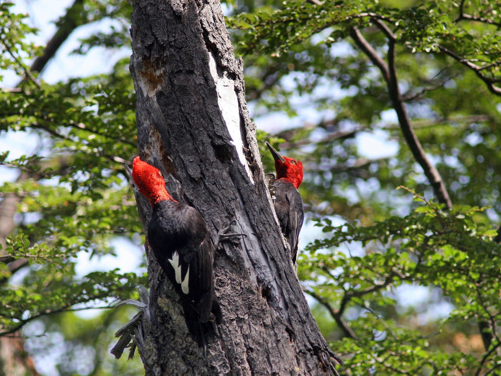 Magellanic Woodpecker - Markus Deutsch